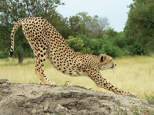 cheetah-stretching